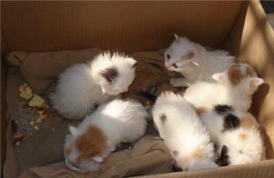 【图】如何正确喂养小猫咪?小猫咪的日常饲养方法介绍!